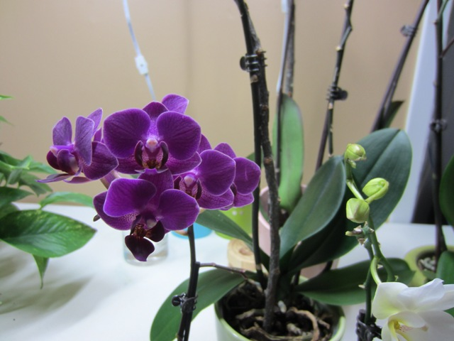 new purple orchid